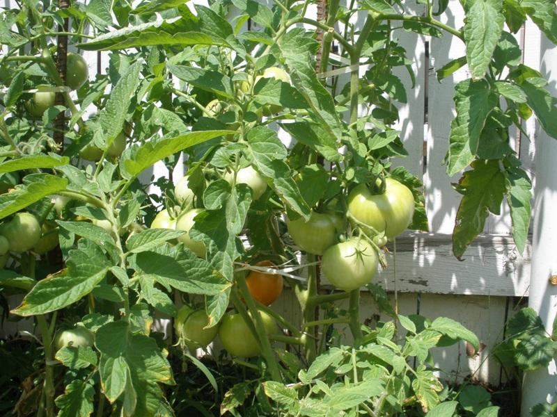 horta jardim e pomar:Tomates – by Gina Moraes